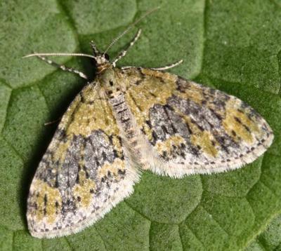 Acasis-viretata-Lopastnaya-Pyadenica-zelenovataya.jpg