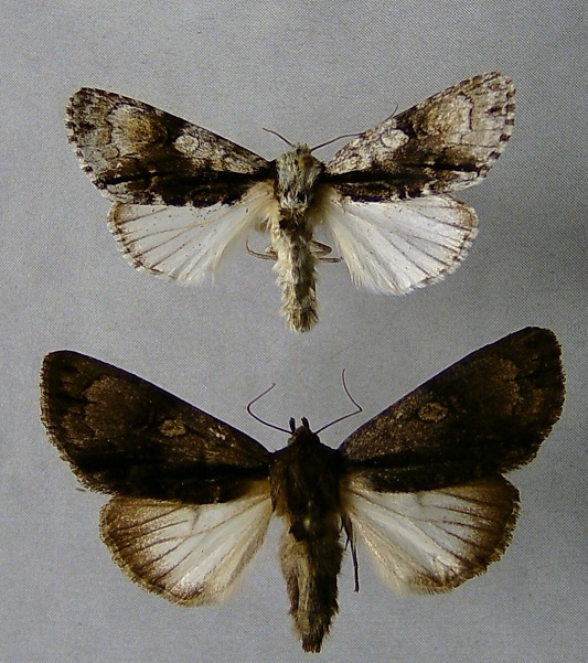 Acronicta-alni-Strelchatka-olkhovaia1.jpg