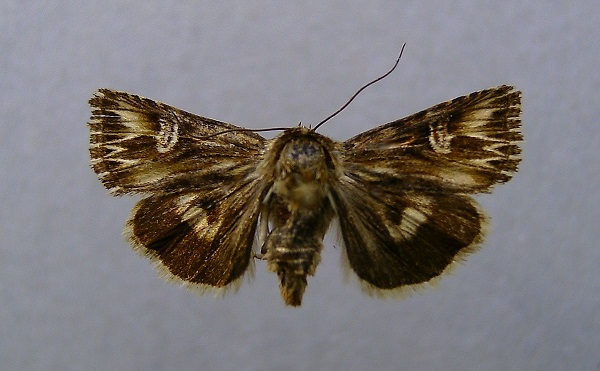 Actinotia-radiosa-Sovka-zveroboinaya-pyatnistaya1.jpg