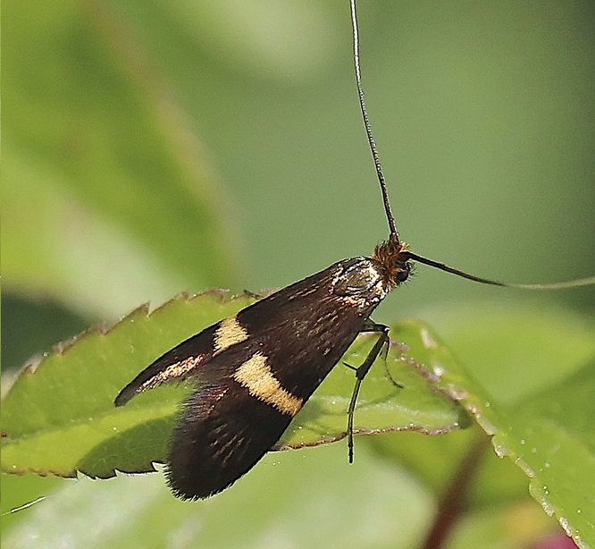 Adela-croesella-Scopoli-1763-Mol-dlinnousaya-biryouchinnaya