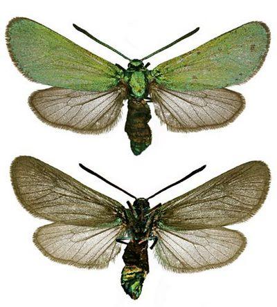 Adscita-statices-Pestryanka-schavelevaya-ili-zelenaya1.jpg