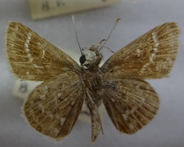 Aeromachus-inachus-Tolstogolovka-inah2.jpg