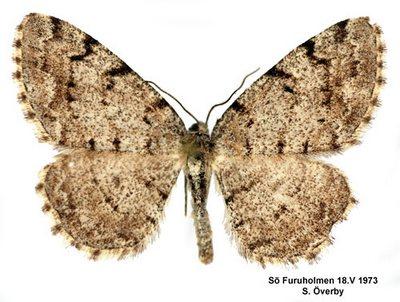 Aethalura-punctulata-Pyadenica-dymchataya-tochechnaya.jpg