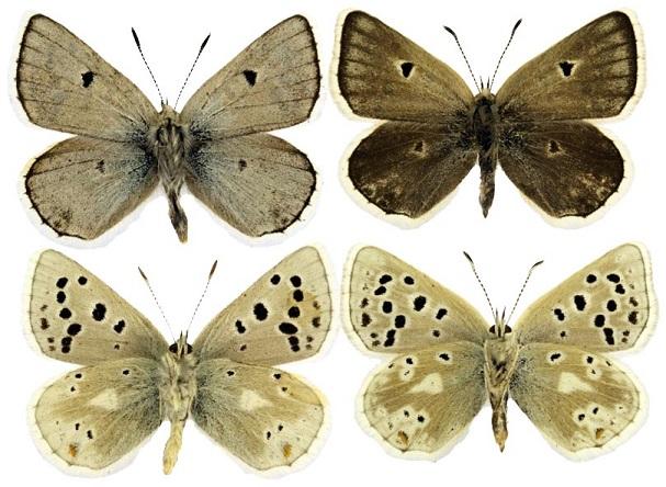 Agriades-pyrenaicus-Boisduval-1840-Golubyanka-pireneiskaya