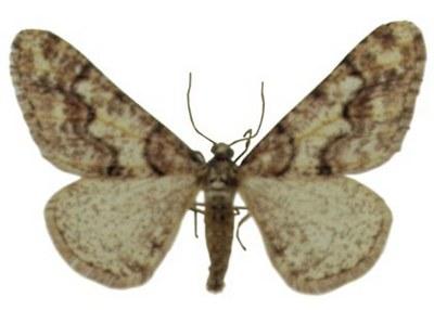 Agriopis-leucophaearia-Pyadenica-obdiralo-svetlo-seraya.jpg