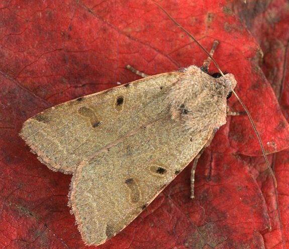 Agrochola-lychnidis-Kapiushonnitca-buro-seraia