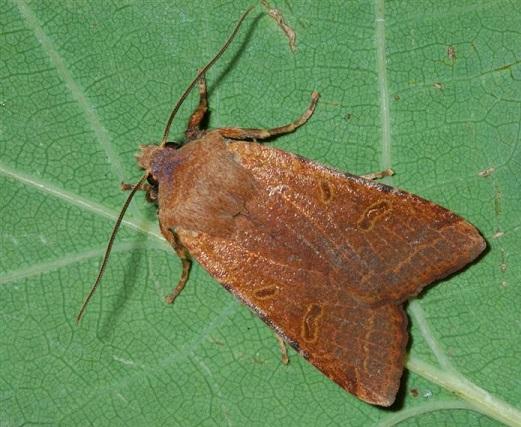 Agrochola-lychnidis-Kapiushonnitca-buro-seraia1.jpg