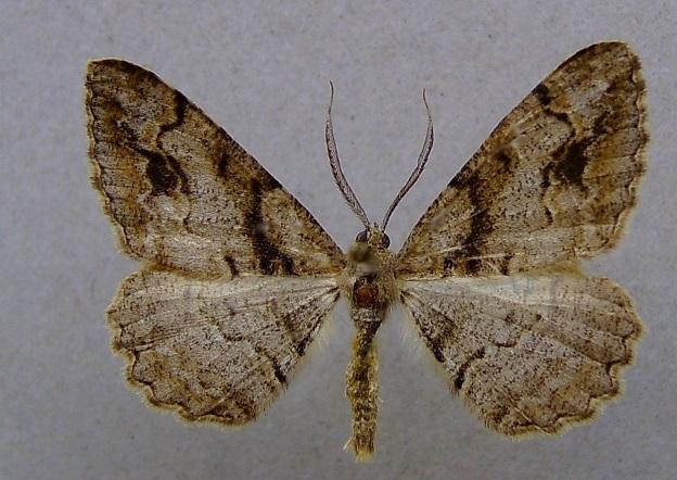 Alcis-bastelbergeri-Pyadenica-Dymchataya-bastelbergera