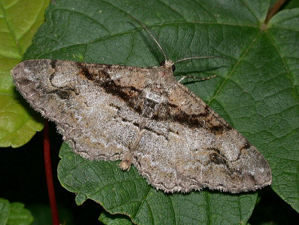 Alcis-bastelbergeri-Pyadenica-Dymchataya-bastelbergera1.jpg
