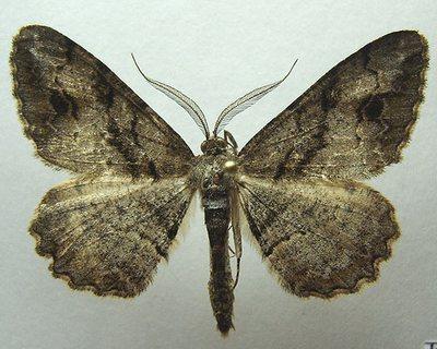 Alcis-bastelbergeri-Pyadenica-dymchataya-pyatnistaya.jpg
