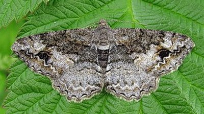 Alcis-bastelbergeri-Pyadenica-dymchataya-pyatnistaya1.jpg