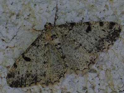 Alcis-jubata-Pyadenica-dymchataya1.jpg