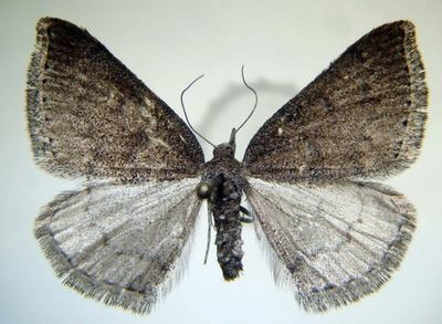 Aleucis-distinctata-Pyadenica-cvetochnaya-zveroboinaya.jpg