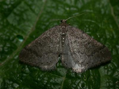 Aleucis-distinctata-Pyadenica-cvetochnaya-zveroboinaya1.jpg