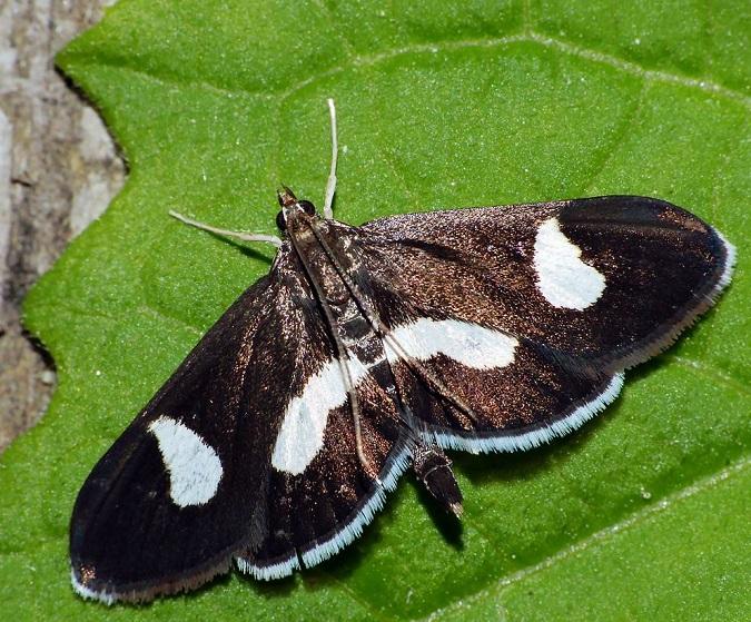 Algedonia-luctualis-Ognevka-lugovaya-pechalnaya1.jpg