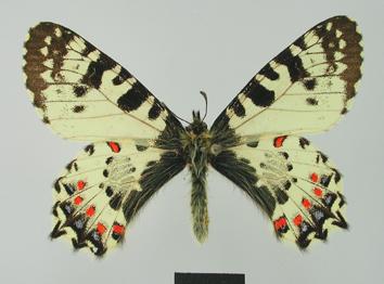 Allancastria-caucasica-Lederer-1864-Allankastriya-Kavkazskaya