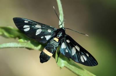 Amata-nigricornis-Lzhepestryanka-obyknovennaya-ili-Lzhepestryanka-chernousaya.jpg