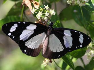 Amauris_albimaculata.JPG