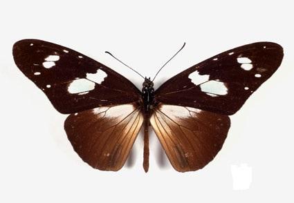 Amauris_albimaculata2.JPG
