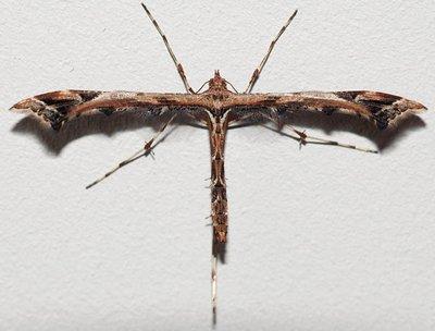 Amblyptilia-acanthadactyla.jpg