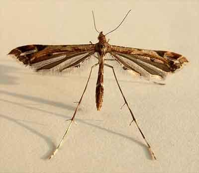 Amblyptilia-acanthadactyla1.jpg