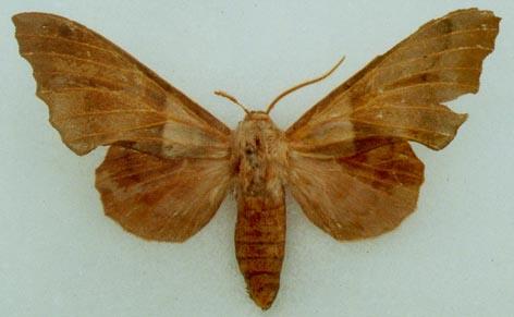 Amorpha-philerema-Brazhnik-turangovyi