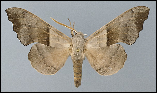Amorpha-philerema-Brazhnik-turangovyi1.jpg