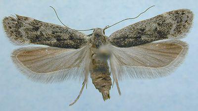 Anacampsis-populella-Vyemchatokrylaya-Mol-osinovaya.jpg