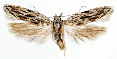 Anarsia-lineatella-Vyemchatokrylaya-Mol-fruktovaya1.jpg