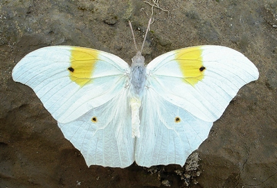 Anteos-clorinde-Limonnica-Amerikanskaya1.jpg
