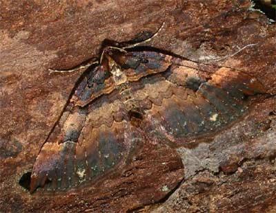 Anticlea-badiata-(Earophila-badiata)-Pyadenica-rozannaya.jpg