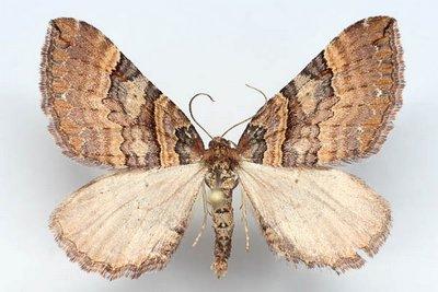 Anticlea-badiata-(Earophila-badiata)-Pyadenica-rozannaya1.jpg