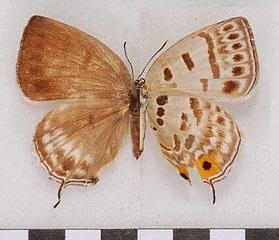 Antigius-butleri-Fenton-1882-Zefir-Batlera