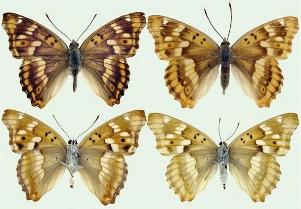Apatura-metis-Freyer-1829-Perelevnica-Metida2.jpg