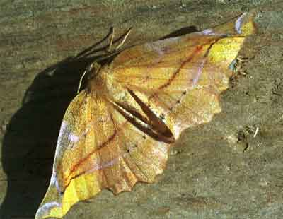 Apeira-syringaria-Pyadenica-sirenevaya1.jpg