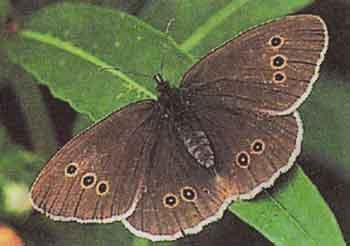 Aphantopus-hyperantus-iperant-ili-cvetochnyi-glazok.jpg