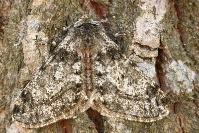Apocheima-pilosaria-(Phigalia-pilosaria)-Pyadenica-volosistaya.jpg