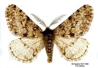Apocheima-pilosaria-(Phigalia-pilosaria)-Pyadenica-volosistaya2.jpg