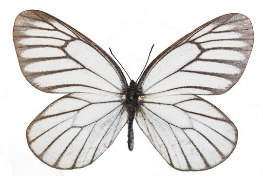 Aporia-hippia-Belyanka-gippiya
