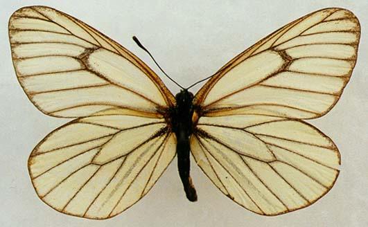 Aporia-hippia-Belyanka-gippiya1.jpg
