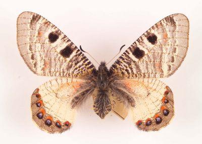 Archon-apollinus-Arhon-appolinus.jpg
