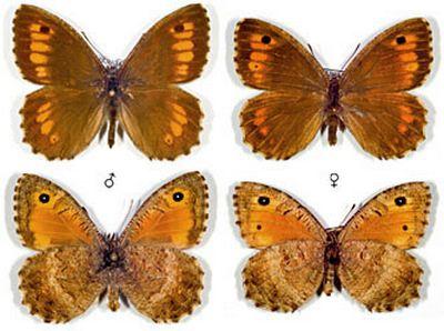 Arethusana-arethusa-Barhatnica-Aretuza1.jpg
