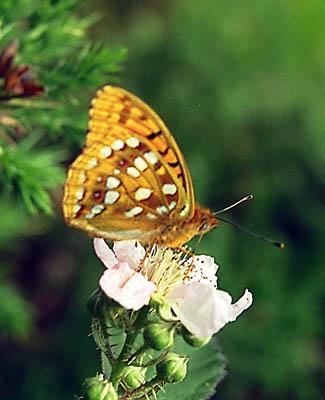 Argynnis-(Fabriciana)-niobe-Perlamutrovka-nioba1.jpg