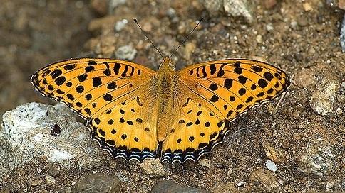 Argynnis-hyperbius-Linnaeus-1767-Argirei
