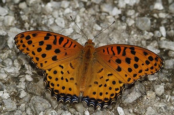 Argynnis-hyperbius-Linnaeus-1767-Argirei1.jpg