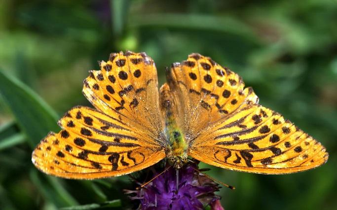 Argynnis-paphia-Linnaeus-1758-Perlamutrovka-pafiya
