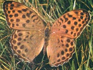 Argynnis-zenobia-Leech-1890-Perlamutrovka-zenobiya