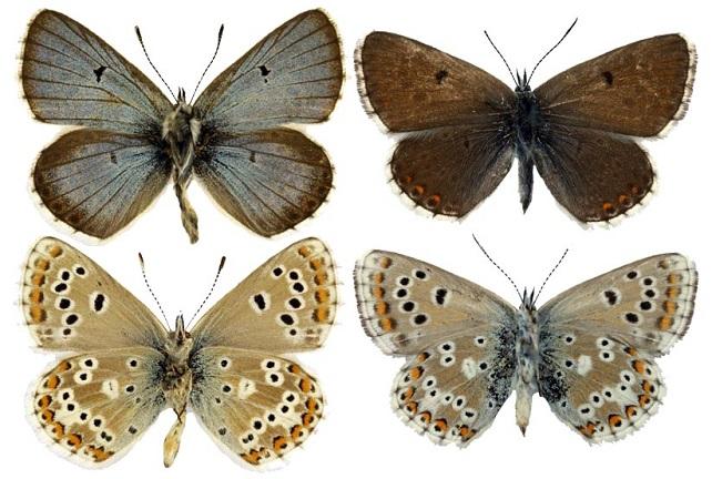 Aricia-anteros-Freyer-1838-Golubyanka-anteros