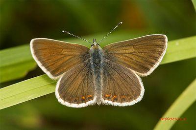Aricia-artaxerxes-Ariciya-atrakserk-ili-argus-shotlandskiy.jpg