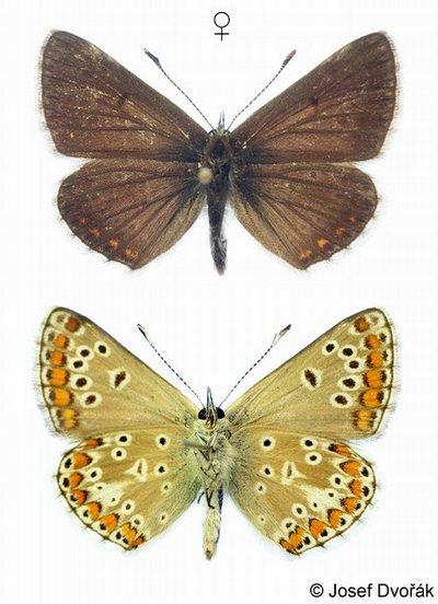 Aricia-artaxerxes-Ariciya-atrakserk-ili-argus-shotlandskiy1.jpg